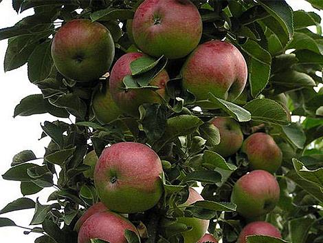 Яблоня арбат колоновидная