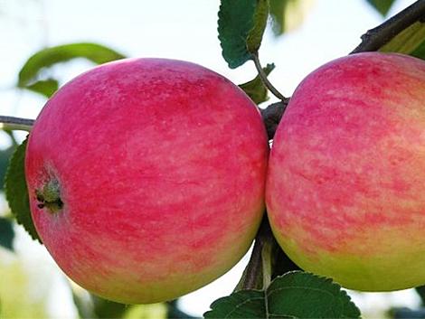 Яблоня ренет симиренко