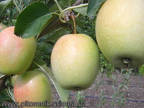 Гранат зизифус инжир хурма